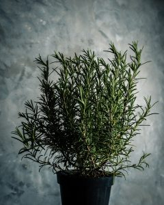 Rosemary-3 Herbs every witch should know #witchcraft #herbs
